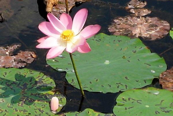 136 lotus3