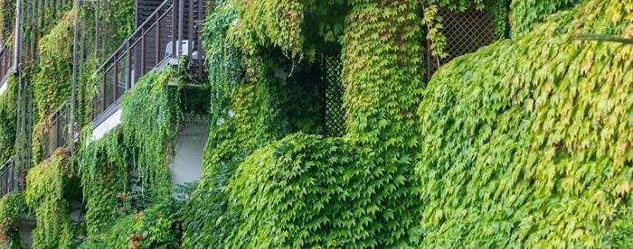 Husvägg täckt av gröna klätterväxter. Foto.