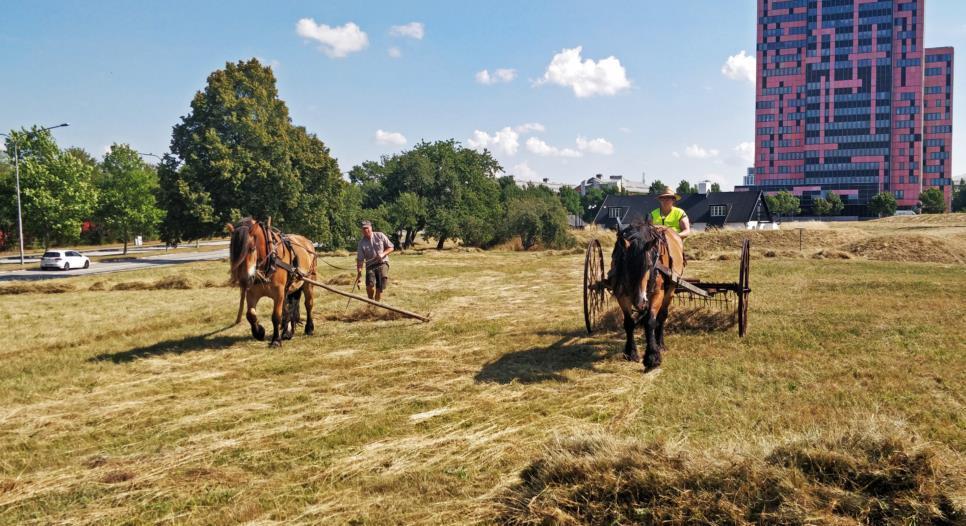 Gräsmarken norr om kemicentrum har börjat slås med hjälp av hästar. Foto: Josefine Rehn, Peab Anläggning AB
