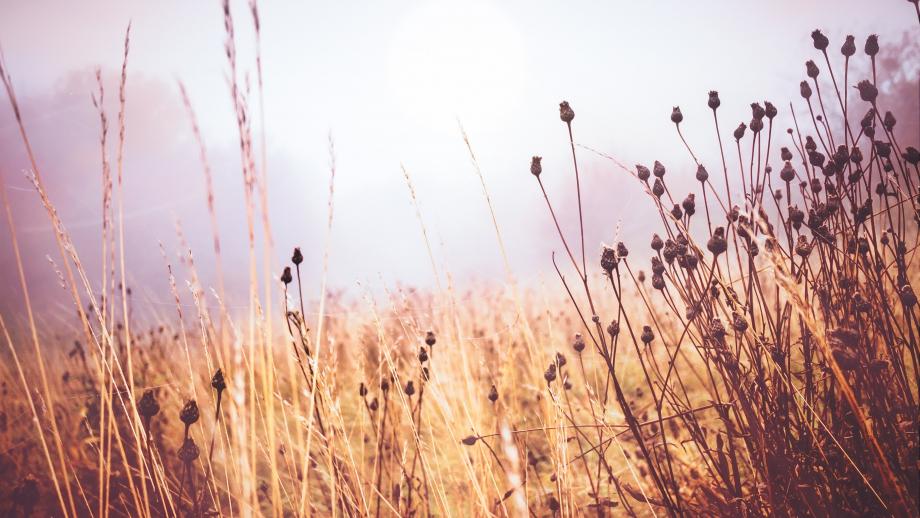 Torrt gräs. Foto.