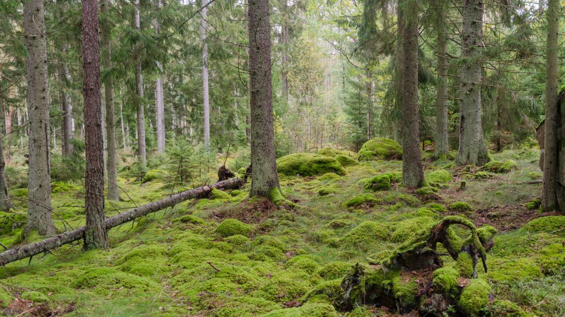 Svensk naturskog. Foto.