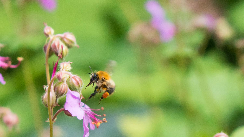 Ett bi flyger in mot en blomma. Foto Marie Dacke.