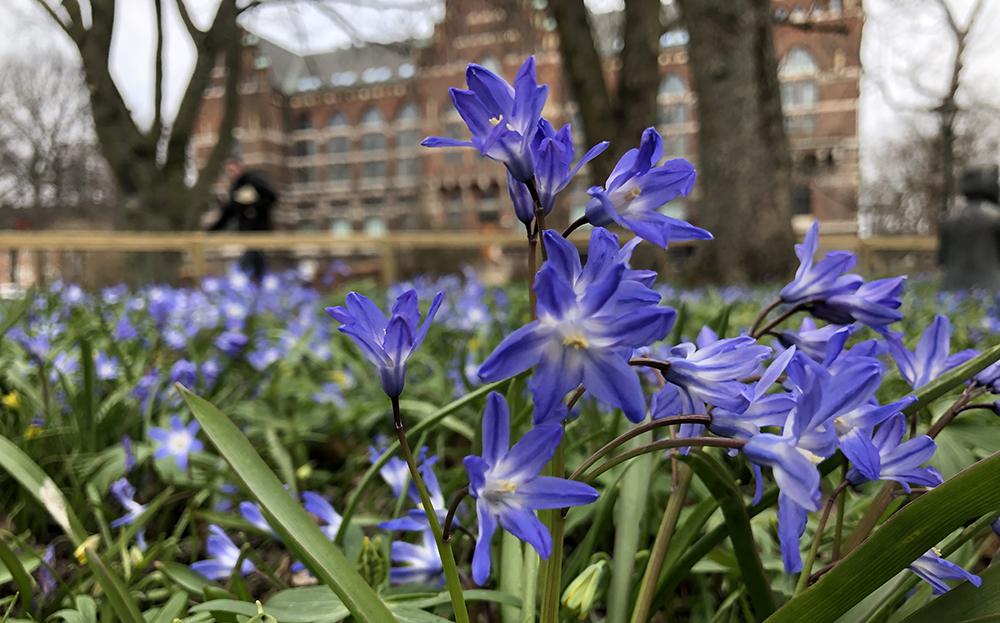 Photo of the spring flower Scilla Siberica in front of Lund University Library.