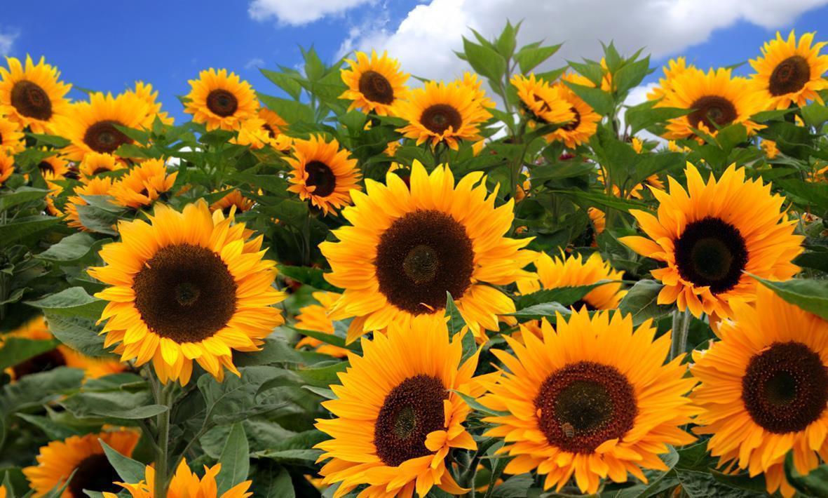 844 367559 sunflower fields