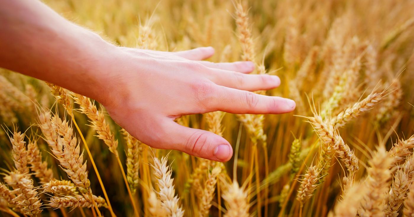 390 hands in a wheat field