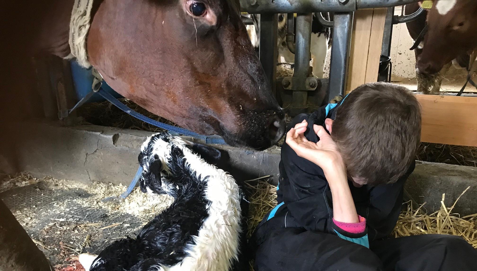 På bilden hälsar på/känner/upplever Tormod (som har CHARGE syndrom) en nyfödd kalv och hennes mor.