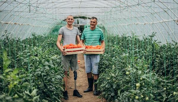 Två män plockar tomater i ett växthus, den ena av männen har en benprotes.