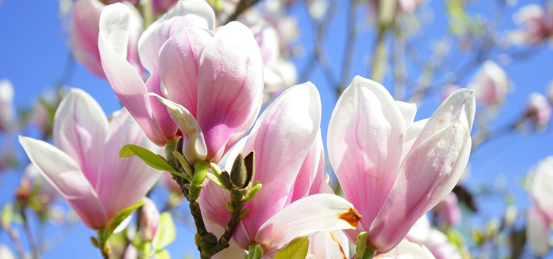 12986 magnolia 324276 1920