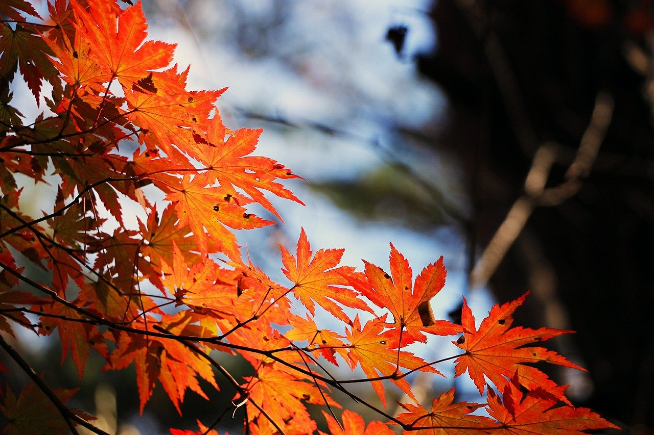 14488 red maple leaf 507545 1280