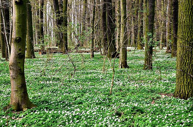 8450 wood anemone 2195812 640