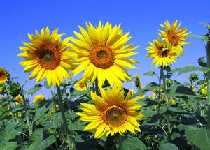 329 auringonkukkia